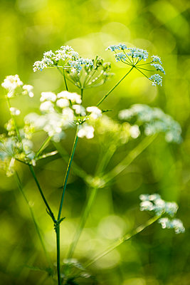 Cow Parsley - p1418m1572484 by Jan Håkan Dahlström