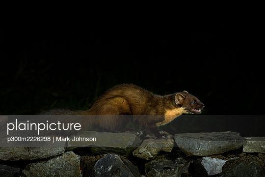 Pine marten (Martes martes) on rocks at night - p300m2226298 by Mark Johnson