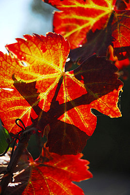 Autumn leaves - p1468m1527663 by Philippe Leroux
