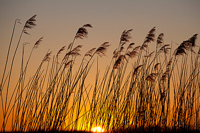 Grass in the sunset - p4880425 by Bias