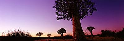Köcherbäume - p844m1119002 von Markus Renner