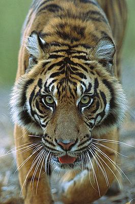 Sumatran Tiger close-up portrait of female - p884m862303 by ZSSD