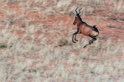 Hartebeest - p1065m982595 by KNSY Bande