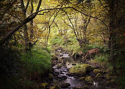 Deer in woodlands drinking from stream, West Midlands, UK - p429m1448338 by Matt Walford