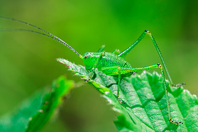 Green Bush-cricket, nymph, Germany - p1501m2128606 by Alexander Sommer