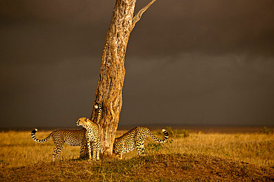 Cheetahs in Kenya - p5330363 by Böhm Monika