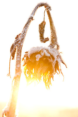 Withered sunflower with hoar frost - p533m1225518 by Böhm Monika