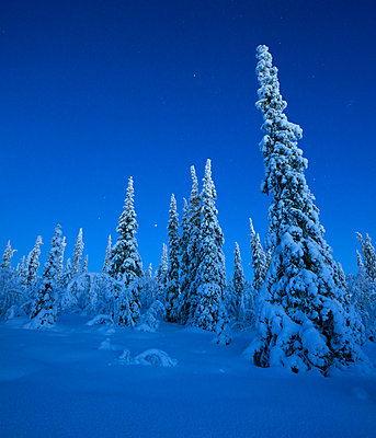Pine trees at winter - p312m970086 by Fredrik Ludvigsson