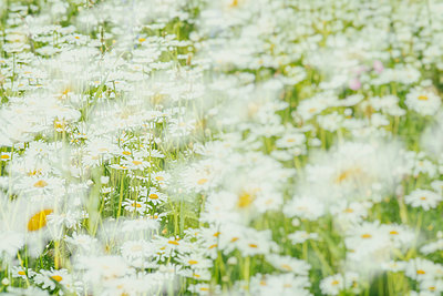 Wildflower meadow - p401m2281075 by Frank Baquet