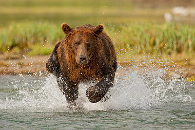 Coastal Grizzly Boar Fishing At Geographic Harbor, Katmai National Park, Alaska - p442m838114 by Kent Fredriksson