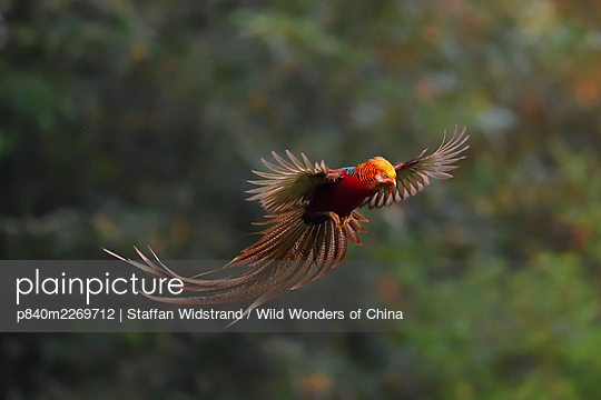 Golden pheasant (Chrysolophus pictus) male in flight, about to land, Yangxian nature reserve, Shaanxi, China - p840m2269712 by Staffan Widstrand / Wild Wonders of China