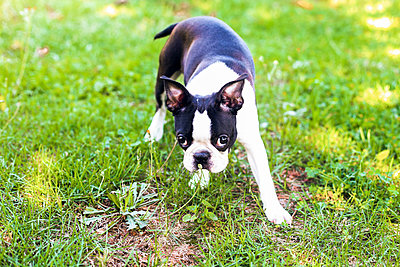 Boston Terrier puppy sniffing the plant in the field - p1166m2108022 by Cavan Images