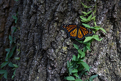 Monarch butterfly on tree trunk - p924m1157736 by Kinzie Riehm