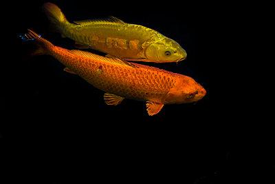 Zwei verschiedenfarbige japanische Koi unter Wasser - p1180m1017228 von chillagano