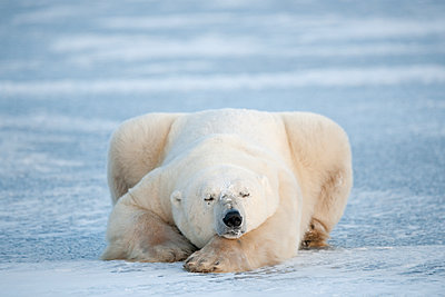 Polar Bear  sleeping on ice, Churchill, Manitoba, Canada - p884m1141304 by Andre Gilden/ NIS