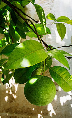 Spain, Close-up of lime on branch - p352m1186959 by Lena Katarina Johansson
