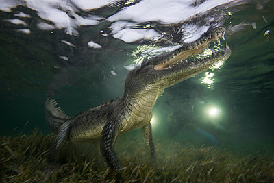 American crocodile (crodoylus acutus) in the shallows of Chinchorro Atoll, Mexico - p429m1181268 by Rodrigo Friscione
