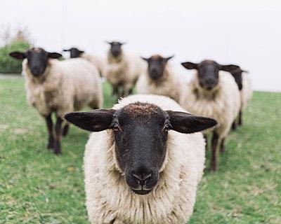 Anführer der Schafe - p1085m876980 von David Carreno Hansen
