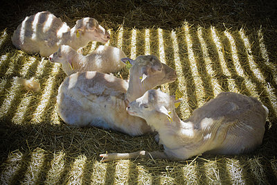 Sheep in sunbeams in barn - p1418m1572069 by Jan Håkan Dahlström