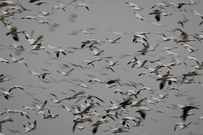 Large flock of Snow Geese flying together - p1480m2148227 by Brian W. Downs