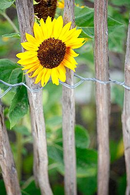 Tough sunflower - p179m833395 by Roland Schneider