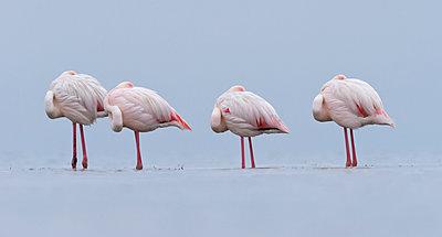 European Flamingo group roosting, Walvis Bay, Namibia - p884m1357004 by Yva Momatiuk & John Eastcott