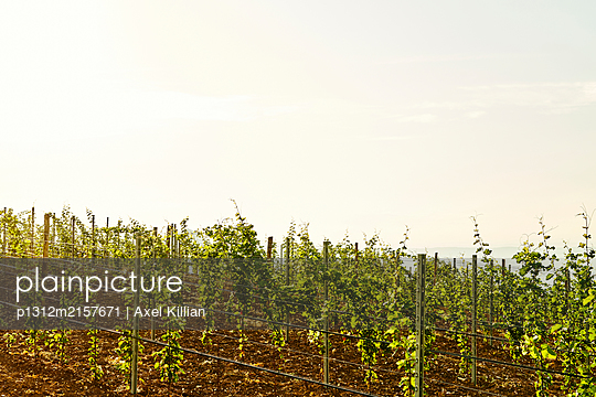 Italy, Italy, Euganean hills, Vineyard - p1312m2157671 by Axel Killian