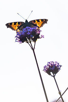 A colourful butterfly sitting and feeding on a purple Verbena flower head set against a bright white sky. - p1057m2110478 by Stephen Shepherd
