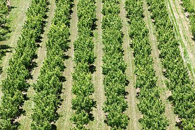 Fruits trees growing on field - p1166m2112317 by Salaverría Calahorra, Pedro