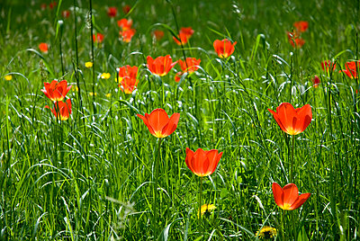 Grass & tulips - p5676883 by Thierry Guillaume