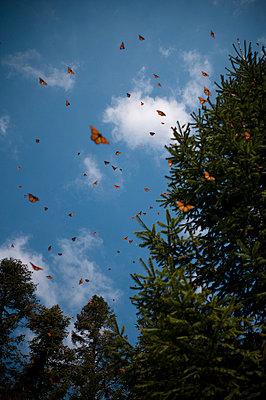 Monarch Butterflies in Flight - p6943874 by Sean McCormick