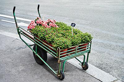 Handwagen mit Rosen und Topfpflanzen auf der Straße  - p1312m2164038 von Axel Killian