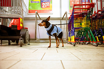 Leashed dog in a supermarket - p851m2186135 by Lohfink