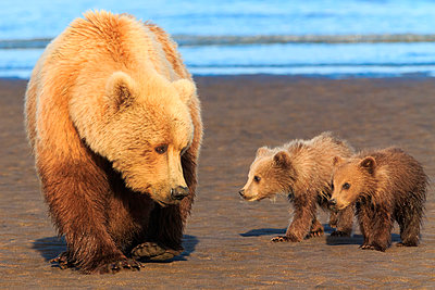 Brown bear sow and cubs - p1100m887869f by Art Wolfe