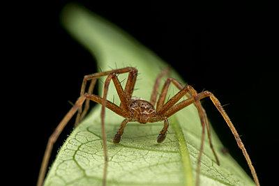 Phylodromidae Sp. male spider posing on green leaf portrait - p1166m2201113 by Cavan Images