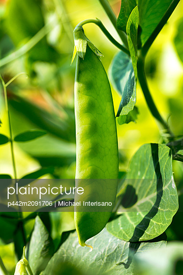 Close-up of green pea pod growing on a plant; Calgary, Alberta, Canada - p442m2091706 by Michael Interisano