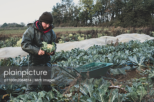 Woman standing in field, harvesting cauliflowers. - p1100m2084814 by Mint Images