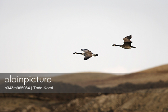 Various birds in a rural wetland area in southern Alberta. - p343m965034 by Todd Korol