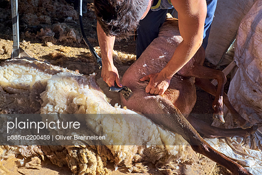 Sheep-shearing - p885m2200459 by Oliver Brenneisen