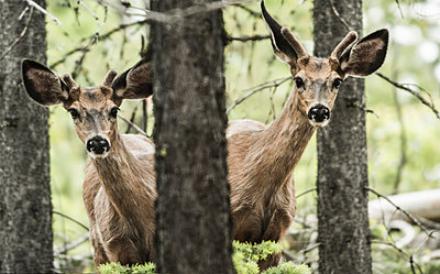 Portrait of deer standing by trees in forest - p1166m1519139 by Cavan Images