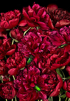 Green rose chafers crawling on red peonies - p1366m2260578 by anne schubert