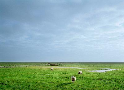 Sheep grazing in rural pasture - p42919041f by Mischa Keijser