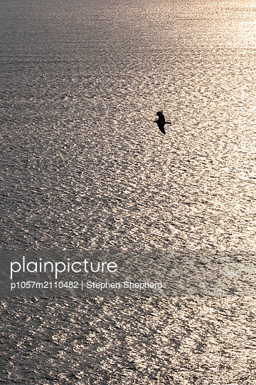 The silhouette of a seagull highlighted against the setting sun  - p1057m2110482 by Stephen Shepherd