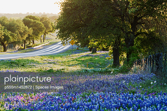 Blue Bonnets in Field Near Road - p555m1452872 by Spaces Images