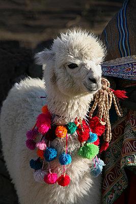 Alpaca - p1038m1563956 by BlueHouseProject