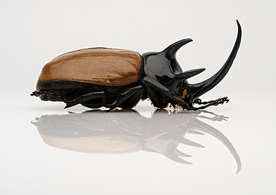 Five-horned Rhinoceros Beetle - p1280m2205544 by Dave Wall