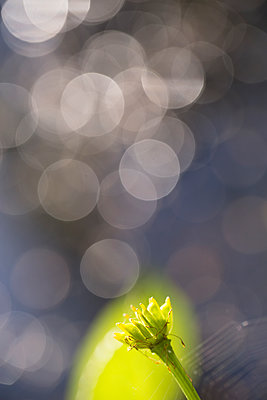 Wild flower without petals, circles of light in the background - p1682m2270269 by Régine Heintz