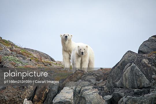 Polar bear explores rocky shoreline, Torngats Mountains National Park - p1166m2131091 by Cavan Images