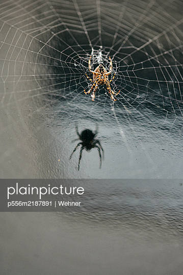 Spider in the web - p556m2187891 by Wehner