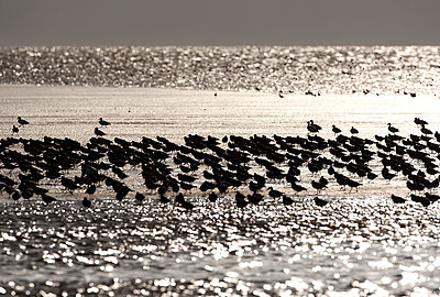 resting oystercatchers - p1144m944001 by Wouter Pattyn